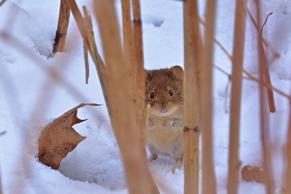 wood mouse, snow, winter